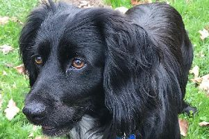 Derek, a black, springer spaniel type dog, is back with his family after a three-day search