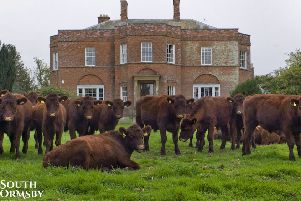 Lincoln Red cattle at the South Ormsby Estate.