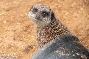Here's looking at you: A meerkat poses for the camera
