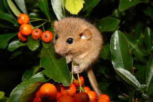Even the dormice would be catered for at this proposed Lindfield development