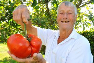 Hassocks resident Terry Hicks with his giant tomato. Photo by Steve Robards