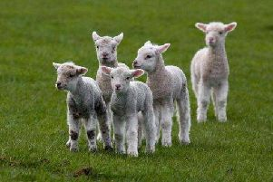 Ten lambs have been reported stolen on the Moneyneany Road, Draperstown.