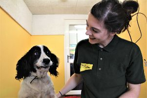 Abandoned - spaniel, Grace who  is now in the care of Dogs Trust and waiting for a new  home.