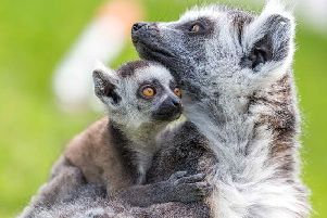 Woburns new baby boy lemur cuddles up to his mum Kirindy