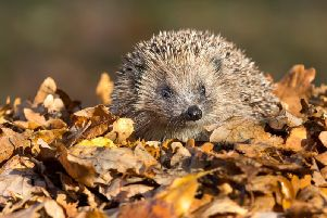 A hedgehog