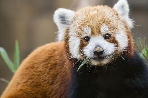 The red panda is reportedly exploring the Glegormley area