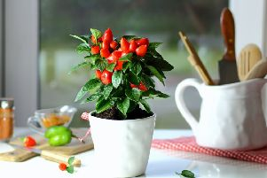 A chilli plant in a kitchen. Picture credit:: PA Photo/thinkstockphotos.