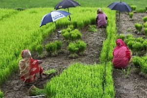 Bangladeshi women at work in a rice field during harvest