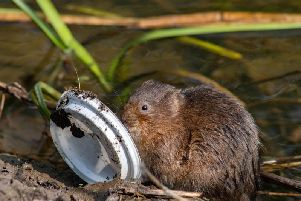 Photo issued by Greenpeace of a water vole with a plastic drinks lid in the river Derwent, Derbyshire. Pic: Alex Hyde/Greenpeace/PA Wire