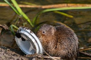 Handout photo issued by Greenpeace of a water vole with a plastic drinks lid in the river Derwent, Derbyshire. Pic: Alex Hyde/Greenpeace/PA Wire