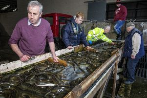Sorting and grading eels at the Fishermen's Co-op.
