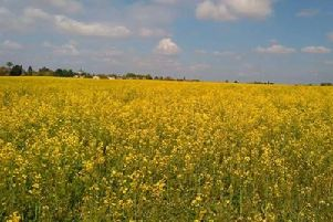 By this time next year this rapeseed crop at Hardinsgstone could be the site of a huge housing development. Now the village is facing a further plan for 500 homes nearby. 6K8Q6OwuEB5wz5M4X-pR