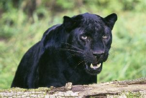 File picture of a black panther