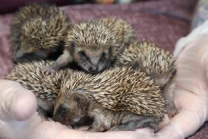 These hoglets and their mum were made homeless after the tree they were living at the bottom of was disturbed.