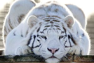 Two-year-old white tiger Mohan at Hamerton Zoo Park keeps an eye on visitors. Picture by Glynn Dobbs