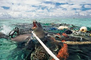 An Hawaiin monk seal trapped in discarded polypropylene fishing nets