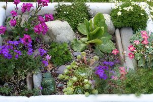 A Butler sink filled with alpine plants.