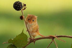 Hungry harvest mouse after the blackberries. Picture: Jim Walker