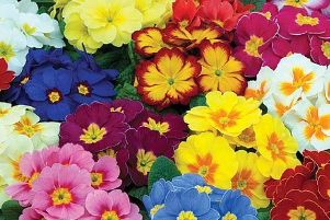 Now is a good time to sow polyanthus seed for spring 2020.