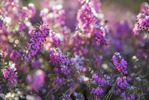 Winter flowering heathers are great to see this time of year, says Brian Kidd.