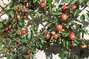 Brian answers a question on how to keep the apple trees full of life.