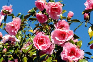 Camellias are easy to grow, says Brian Kidd.