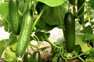 Brian answers your questions on how to grow cucumbers.