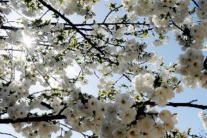 Blossom tree near Chichester Cathedral