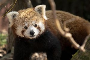 Peter the red panda has joined Marwell Zoo. Picture: Jason Brown