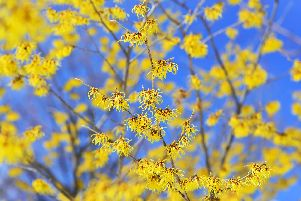 Chinese witch-hazel. Picture: Shutterstock