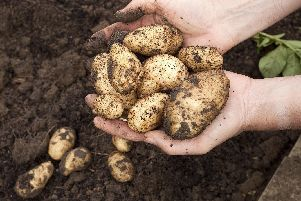 You should be able to start pulling some of your first early potatoes.