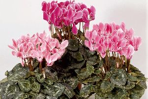 Think ahead to winter - now is the time to repot your cyclamen.