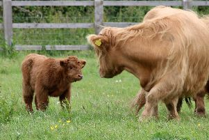 One of the cute new Highland cattle calves explores its new surroundings at Staunton Country Park. Picture: Graham May