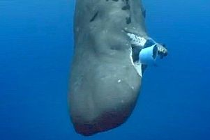 The sperm whale attempting to eat that bucket. Picture: BBC/Blue Planet