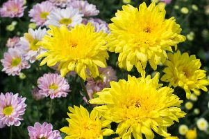 A bouquet including yellow chrysanthemum from which you can take cuttings.