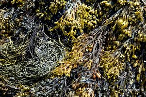Seaweed, an 'untapped natural resource'