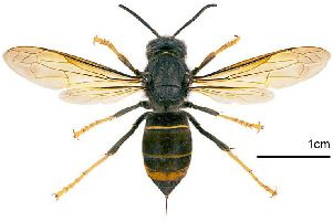 Asian Hornet warning
