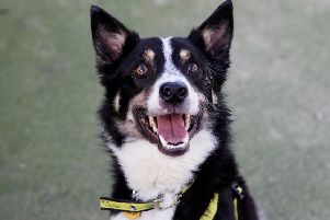Jake is looking to become someone's new collie companion