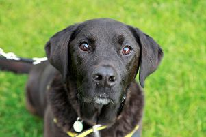 Josh the labrador-cross has an excitable character