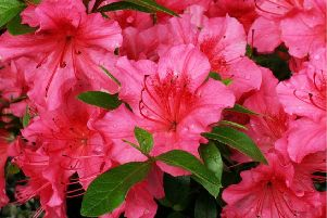 Azaleas can cause serious problems for cats and dogs