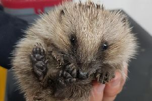 Small hedgehog found at the side of the road SUS-181010-152104001
