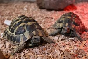 Fergie, a two-year-old Hermann's tortoise, was taken from his pen at Blackberry Farm Park in Whitesmith, near Lewes, on Saturday, September 8. Picture supplied by Sussex Police