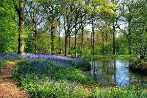 Bluebell Walk, Arlington -  photo by Peter Goldsmith SUS-190504-133453001