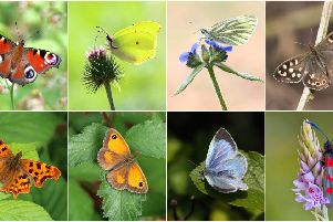Big Butterfly Count: These are the butterflies and moths to look out for