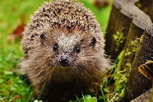 In danger - the humble hedgehog.