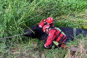 The cow being rescued. Photo: Cambridgeshire Fire and Rescue Service