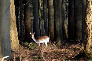 A deer in a West Sussex wood. Picture by Kate Shemilt