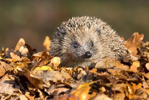 Why we should attract hedgehogs to our gardens