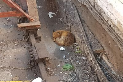 Fox sneaks into Brighton station for a snooze on the tracks