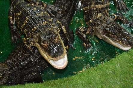 Two of the alligatoers to be housed at the new Zoological Education Centre